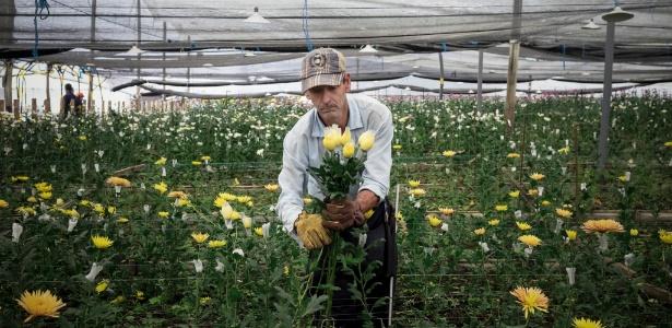 PharmaCielo cultiva crisântemos enquanto espera aprovação para plantar maconha
