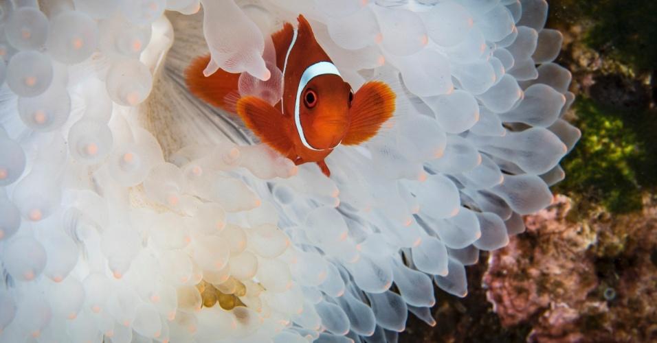 A tragédia nos oceanos não está apenas nos corais: como nesta imagem tirada na Indonésia, as anêmonas também têm se tornado cada vez mais esbranquiçadas por causa do aumento da temperatura das águas. Elas deveriam ter uma linda cor rosa na ponta por causa de uma simbiose com as algas, mas isso tem se tornado cada vez mais raro