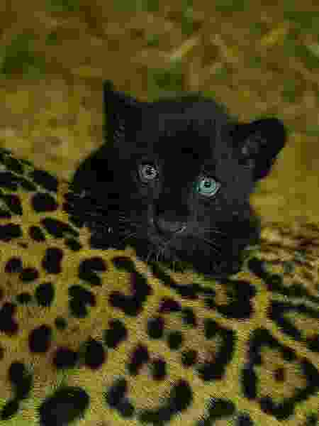 Filhote de pelo escuro - Big Cat Sanctuary - Big Cat Sanctuary
