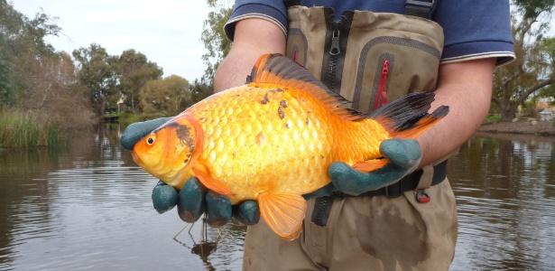 Peixe-dourado capturado por pesquisadores no rio Vasse, na Austrália - Stephen Beatty/The New York Times