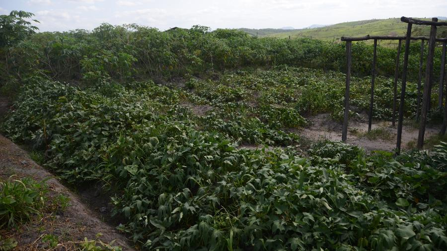 Colheita de plantas medicinais em acampamento em terras da usina de Laginha, em Alagoas - Beto Macário/UOL