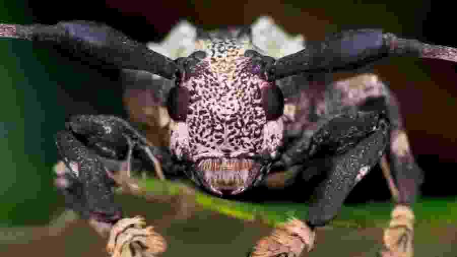 O besouro-escorpião é o único da espécie que pode picar - Arquivo pessoal/Antonio Sforcin