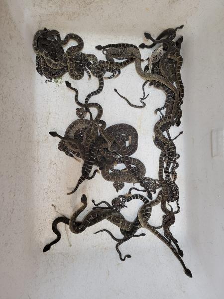 As cascavéis do Pacífico são venenosas e poderiam ter atacado a moradora em caso de autodefesa - Reprodução/Facebook/Sonoma County Reptile Rescue