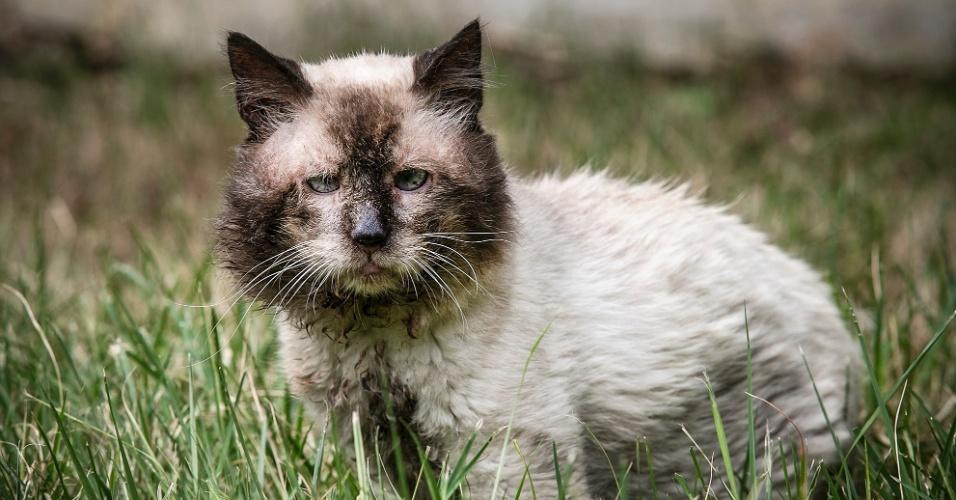 """Castor é um senhor de 18 anos de idade ou mais. Disponível apenas para adoção especial. """"É um gato especial, veio de uma ordem judicial para removê-lo de situação de maus tratos. É um siamês velhinho. É uma excelente companhia, mas tem suas limitações"""", diz Leda Schoendorfer. """"Na mesma ordem judicial vieram dez gatos. Todos foram adotados menos ele. Eles estavam magros. Quando há um excesso de animais, você percebe que não há um cuidado especial com cada um deles"""", completa Joyce Fujii"""