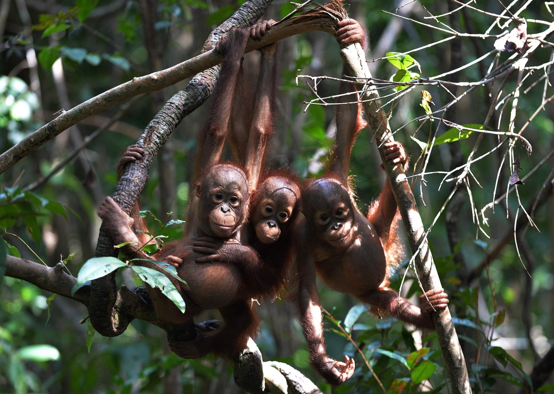 31.ago.2016 - No refúgio internacional para animais na Indonésia, orangotangos órfãos aprendem a fazer ninhos, a buscar comida e a evitar os predadores