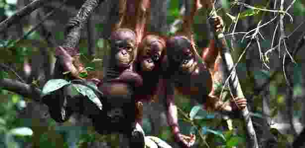 31.ago.2016 - No refúgio internacional para animais na Indonésia, orangotangos órfãos aprendem a fazer ninhos, a buscar comida e a evitar os predadores - Nick Perry/ AFP - Nick Perry/ AFP