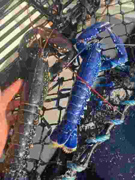 Lagosta comum e lagosta azul (rara) - Reprodução/ Facebook / Tom Lambourn / National Lobster Hatchery - Reprodução/ Facebook / Tom Lambourn / National Lobster Hatchery