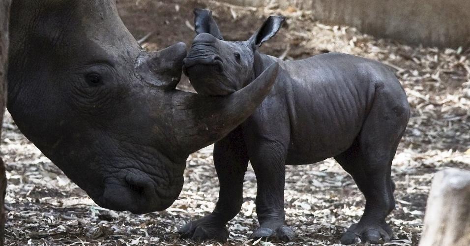 24.ago.2015 - Filhote de rinoceronte se aproxima da mãe no zoológico Ramat Gan, perto de Tel Aviv, em Israel