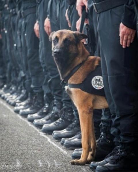 18.nov.2015 - Diesel, cadela da polícia francesa de sete anos, foi baleada durante operação contra terroristas e acabou morrendo. Na imagem, foto de arquivo de cachorro policial