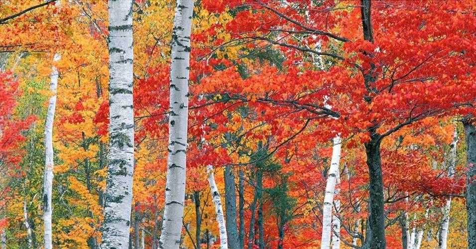 Bordos e bétulas em um jardim de Vermont, EUA. Todo outono, a cidade é colorida pelo dourado e âmbar das folhagens dessas árvores