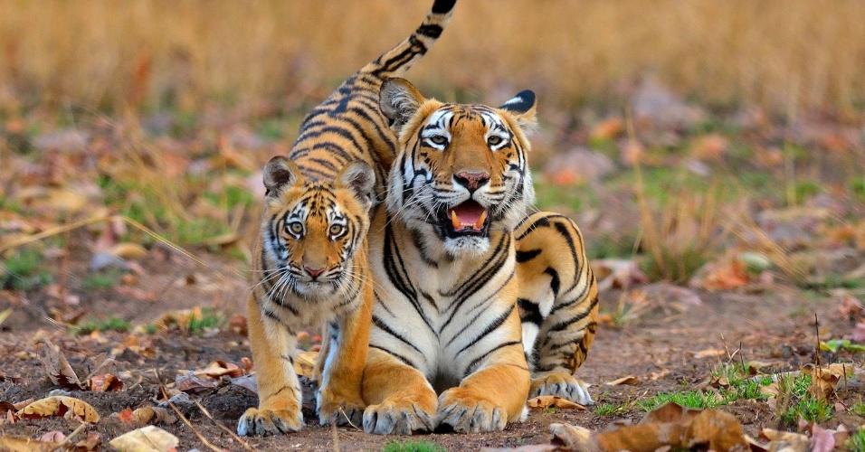 AMOR DE TIGRE - Os tigres são conhecidos como predadores ferozes, mas também são pais cuidadosos. As fêmeas ficam com os filhotes por quase dois anos para garantir sua sobrevivência