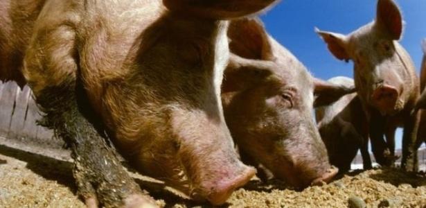 Carolina do Norte é o segundo maior Estado americano em criação de porcos - SPL