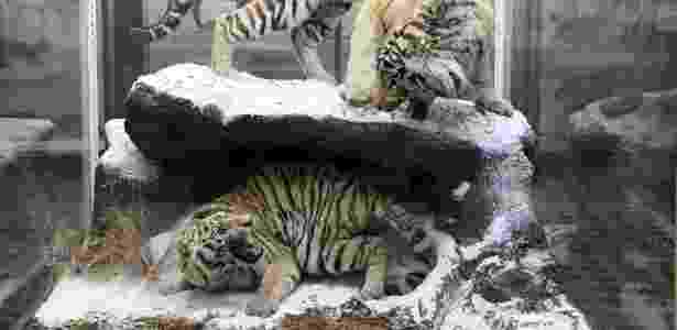 Tigres Amur em exposição no Museu de Zoologia em São Petersburgo, Rússia - James Hill/NYT - James Hill/NYT