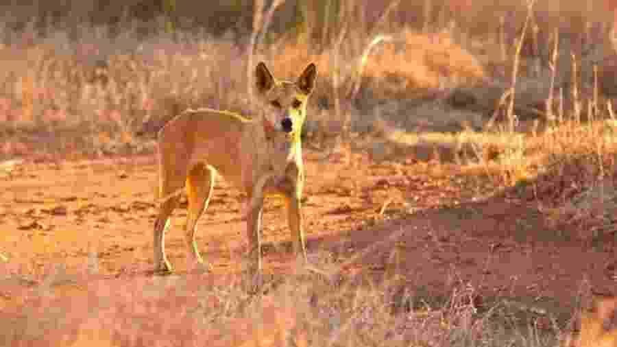O dingo entrou na van, na Ilha Fraser, e mordeu o pescoço da criança - Getty Images