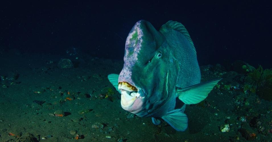 Ele pode ser lindo até abrir a boca. O peixe-papagaio da espécie Bolbometopon muricatum tem até 1,2 metro de comprimento e pesa até 46 kg