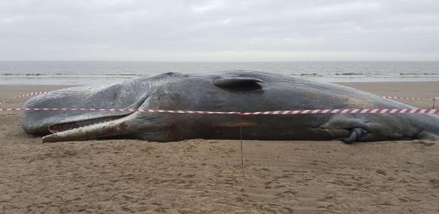 Cachalotes encalharam em praias de diversos países do Atlântico Norte