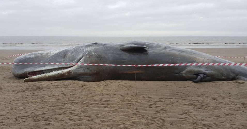 24.jan.2016 - O corpo de uma baleia cachalote foi encontrado em uma praia próxima a Skegness, no nordeste da Inglaterra. Segundo a MCA (Agência Marítima e de Guarda Costeira), o animal morreu após encalhar