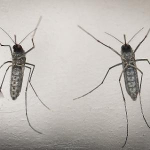 Mosquito 'Aedes aegypti' é o causador das três doenças que mais alarmam o Brasil atualmente: zika, dengue e chikungunya