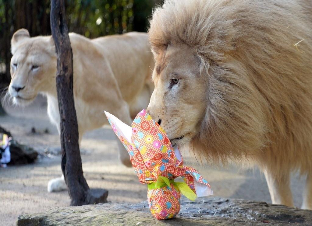 """27.mar.2016 - Casal de leões-brancos, Nikita e Yabu, recebem um """"ovo de carne"""" para celebrar o Domingo de Páscoa no zoológico de La Fleche, na França"""