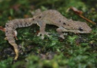 Três espécies de répteis de ilha australiana são extintos na natureza, diz IUCN - Wikipedia