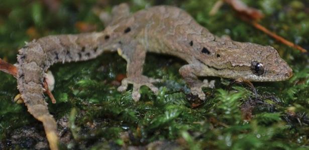 Geckos da ilha de Christmas (Lepidodactylus listeri)