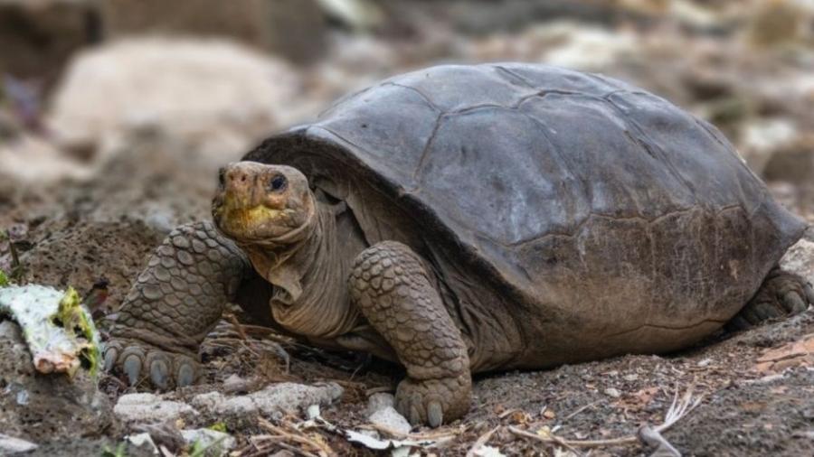 Tartaruga gigante considerada extinta há 100 anos - Divulgação/Parque Nacional Galápagos