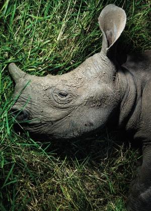 """24.mar.2016 - A imagem do rinoceronte, animal raro em perigo de extinção, visa alertar sobre a ambição e insensatez humana. A fotografia faz parte de um conjunto de 130 imagens que fazem parte do livro """"A Jornada do Rinoceronte"""", do fotógrafo Érico Hiller. Segundo ele, o fim dos animais é culpa dos humanos, que caçam os rinocerontes para vender partes de seu corpo, principalmente os chifres"""