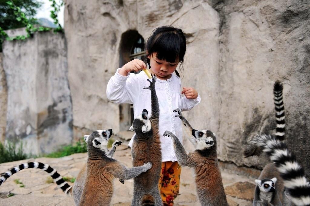 31.mai.2016 - Uma criança alimenta lêmures-de-cauda-anelada durante uma atividade voltada aos Dias das Crianças em Qingdao, na China