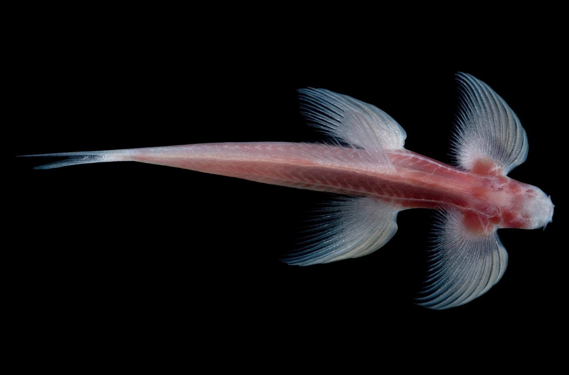 5.jul.2016 ? O peixe da espécie Cryptotora thamicola foi fotografado no norte da Tailândia pelo fotógrafo de animais selvagens Danté Fenolio. O animal não tem olhos, mas consegue se locomover de modo semelhante aos vertebrados terrestres como as salamandras. Cientistas estudam o peixe comprovaram que ele carrega características de bichos terrestres e analisam se ele pode desvendar mistérios de como a vida evoluiu da água para a terra