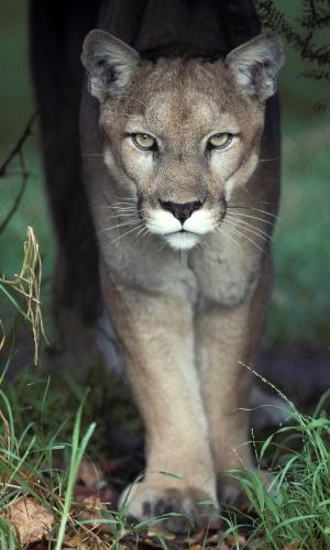 Um puma caminha pelo zoológico de Melbourne, na Austrália. Também chamados de panteras e leões da montanha, os pumas são felinos solitários, conhecidos como hábeis caçadores