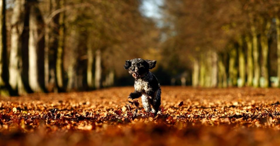 25.nov.2016 - Cão salta através das folhas caídas em dia ensolarado de outono no parque de Marbury em Cheshire, no Reino Unido