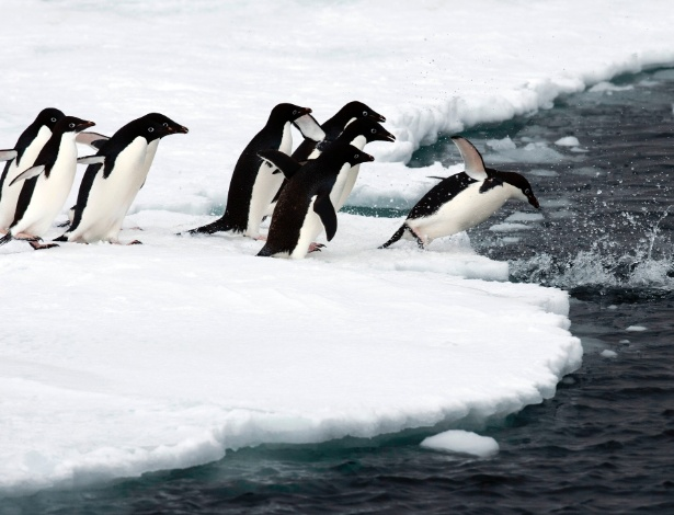 MENOS COMIDA, NINHOS DERRETENDO - A região que tem registrado queda no número de pinguins é justamente onde há elevações maiores nas temperaturas da superfície do mar. A água mais quente afeta a disponibilidade de alimentos. Onde há menos peixes, os pinguins comem mais krill, que é menos nutritivo. Outro problema é que os ninhos feitos pelos animais derretem, deixando os ovos soltos em poças de água gelada