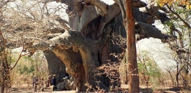 Panke, o mais antigo baobá africano conhecido, que aparece nesta imagem registrada em 1997, foi um das árvores que morreram