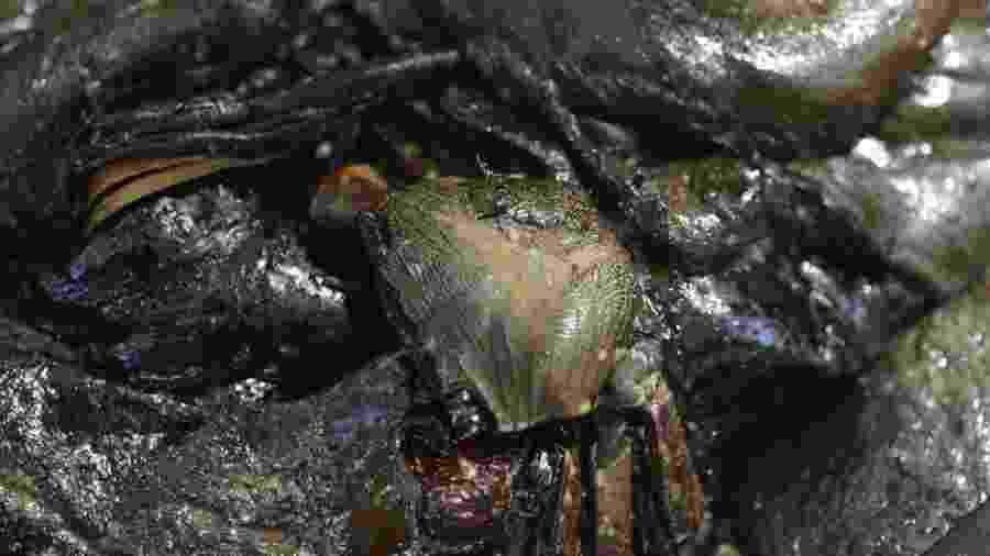 Óleo invade manguezal no Rio Pojuca, em Praia do Forte, na Bahia, e mata caranguejos - Pedro Accioly/Divulgação