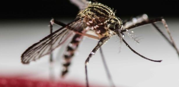 "Mosquito ""Aedes aegypti"""