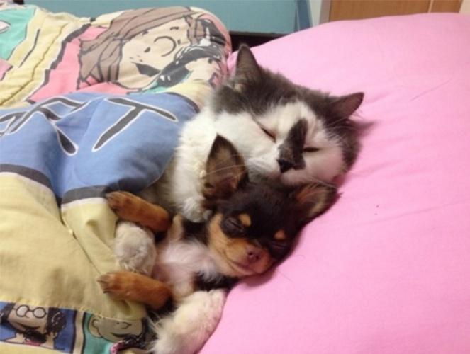 15.mar.2016 - Gatos e cachorros são inimigos declarados? Não na casa da família Yuta, em Bancoc, na Tailândia. O gato Ricchi adotou um pequeno grupo de chihuahuas como companheiros inseparáveis