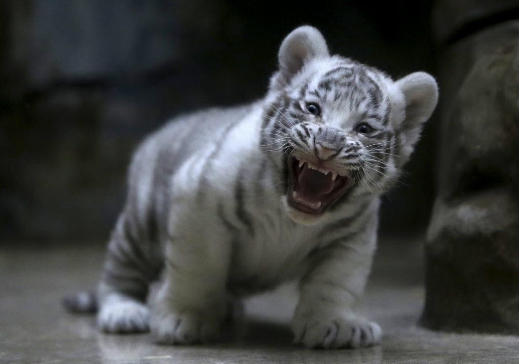 25.abr.2016 - Um filhote recém-nascido de tigre-de-bengala é apresentado para o público no zoológico de Liberec, na República Tcheca