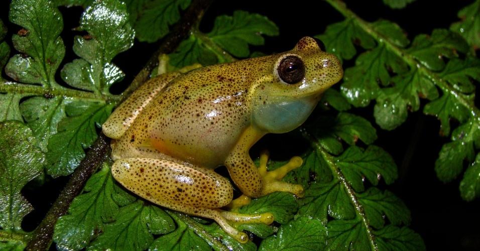 Chamada Hyloscirtusjapreria, a nova espécie também se destaca pelo canto único