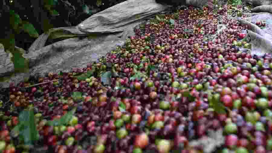 Trabalhador seleciona café após colheita em Alfenas (MG) - Paulo Whitaker