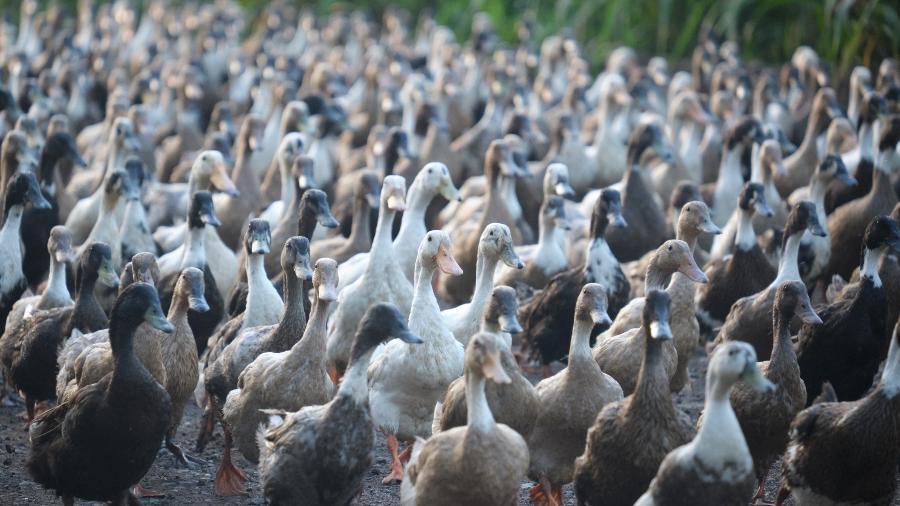 O órgão de saúde classificou o H10N3 de pouco patógeno nas aves, com poucas probabilidades de causar morte - Ernest Andrei Mascarinas / EyeEm/Getty Images/EyeEm