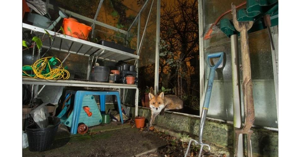 O vencedor entre os fotógrafos de 16 a 18 anos foi Kyle Moore, com sua fotografia de uma raposa em uma estufa. Todas as imagens são cortesia da The Mammal Society
