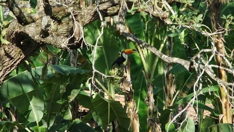 Tucano-toco pousa sobre bananeira no Parque Estadual do Sumidouro