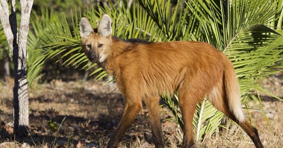 1ºabr.2016 - Um lobo-guará no Piauí. A coloração vermelha e marrom e orelhas pontudas o fazem parecer uma raposa, mas a diferença está nas pernas longas