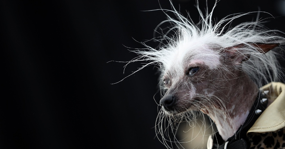 24.jun.2016 - O cão Rascal Deux se apresenta no concurso de cachorro mais feio do mundo no Sonoma-Marin Fair em Petaluma, California, EUA