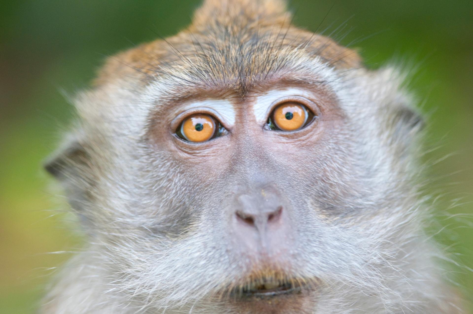 Macaca fascicularis, conhecida também como macaco-cinomolgo