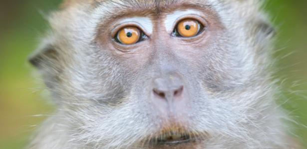 Macaca fascicularis, conhecida também como macaco-cinomolgo, foi usada em estudo