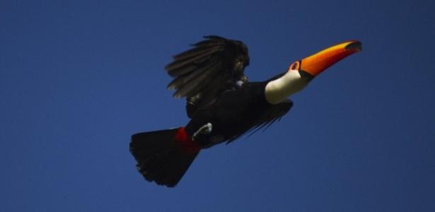 O tucano-toco está entre os animais encontrados na capital paulista