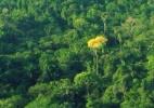 Como fraudes de madeireiras ameaçam a sobrevivência do ipê na Amazônia - BBC