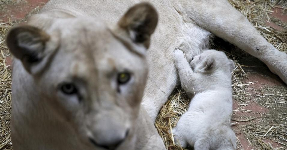 """13.jan.2016 - Um dos três filhotes da leoa branca mama no zoológico privado conhecido como """"12 Meses"""", na cidade de Demydiv, na Ucrânia"""
