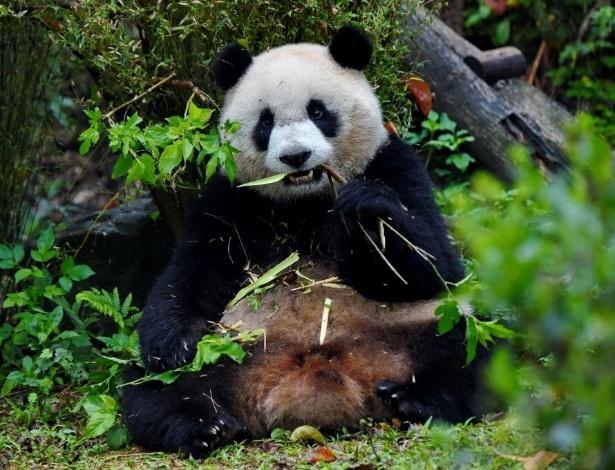 """13.mar.2016 - """"Yuanzai"""" come ramo de bambu no zoológico de Taipei, em Taiwan. Atração do parque, o panda gigante já foi visitado por mais de cinco milhões de pessoas desde sua """"estreia"""" no local, há dois anos"""